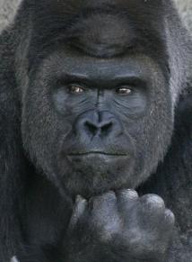 handsome-gorilla-shabani-5a4376424a913__700