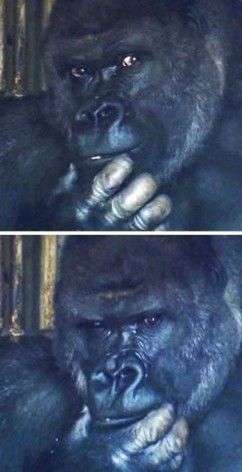 handsome-gorilla-shabani-5a4377b09a4a8__700