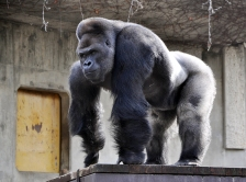 JAPAN-LIFESTYLE-GORILLA-OFFBEAT