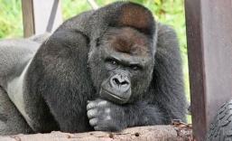 handsome-gorilla-shabani-5a439cdbce2a3__700