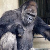 handsome-gorilla-shabani-5a43a3c42f180__700