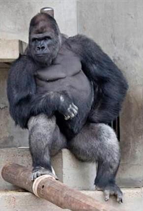handsome-gorilla-shabani-5a43a54b41ebe__700