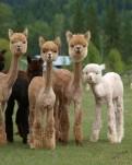 alpacas65757