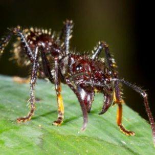 bullet-ant-180428620