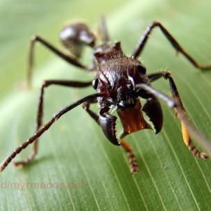 Bullet-Ant-Paraponera-clavata