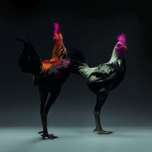 Here's Irma and Ivey, a couple sisters that made quite a career in the Chicken Rockette game. Legs for days, man.