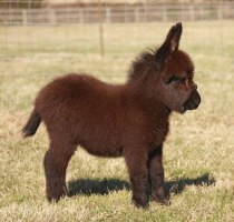 cute-miniature-baby-donkeys-10-5aa924edf2b81__605