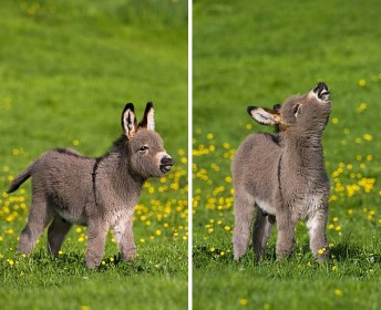 cute-miniature-baby-donkeys-14-5aaa24d57f176__605