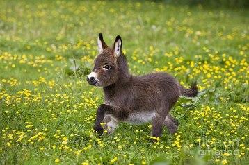 cute-miniature-baby-donkeys-15-5aaa277ac4000__605