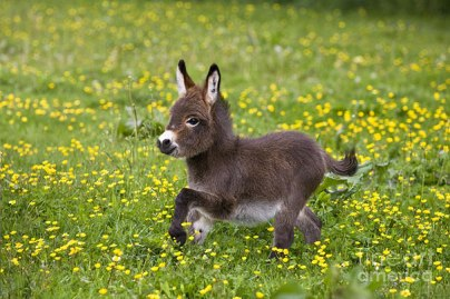 cute-miniature-baby-donkeys-15-5aaa277ac4000__605