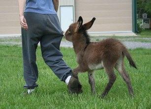 cute-miniature-baby-donkeys-17-5aaa2a9e6596f__605