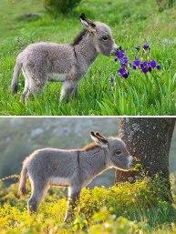 cute-miniature-baby-donkeys-18-5aaa359c1f32f__605