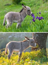 cute-miniature-baby-donkeys-18-5aaa359c1f32f__605