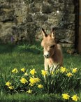 cute-miniature-baby-donkeys-20-5aaa41ae28a15__605
