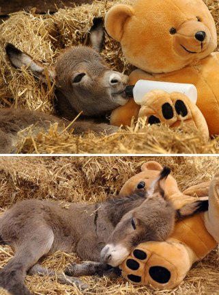 cute-miniature-baby-donkeys-22-5aaa4a99d5eae__605