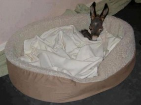 cute-miniature-baby-donkeys-24-5aaa50210c322__605