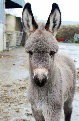 cute-miniature-baby-donkeys-27-5aabdcbf0d93b__605