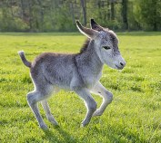 cute-miniature-baby-donkeys-316-5aabeeb00b9a2__605