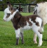 cute-miniature-baby-donkeys-34-5aaa8c502977a__605