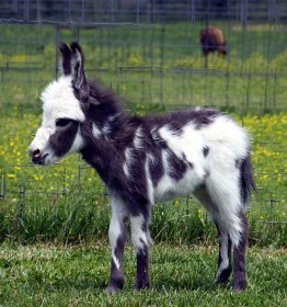 cute-miniature-baby-donkeys-39-5aaa971f288c1__605