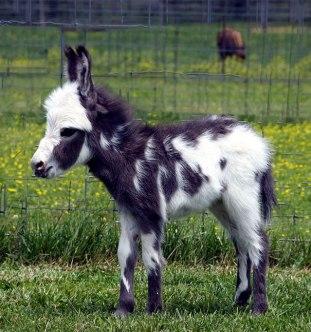 cute-miniature-baby-donkeys-39-5aaa971f288c1__605