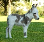 cute-miniature-baby-donkeys-4-5aa8ff682e93e__605