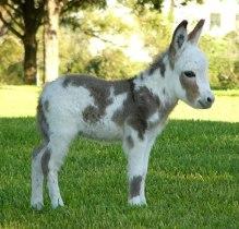 cute-miniature-baby-donkeys-4-5aa8ff682e93e__605