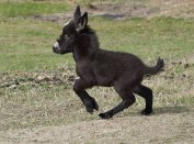 cute-miniature-baby-donkeys-5-5aa912361864d__605