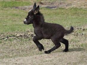 cute-miniature-baby-donkeys-5-5aa912361864d__605