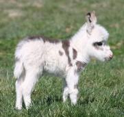 cute-miniature-baby-donkeys-61-5aa92dec53e30__605