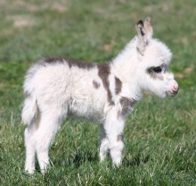 cute-miniature-baby-donkeys-61-5aa92dec53e30__605