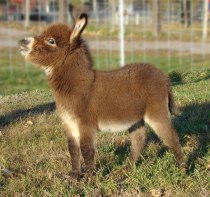 cute-miniature-baby-donkeys-7-5aa91cf6673d1__605