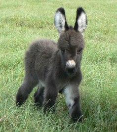 cute-miniature-baby-donkeys-9-5aa91f5e05802__605