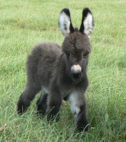 cute-miniature-baby-donkeys-9-5aa91f5e05802__605