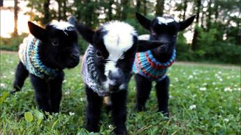 goat19