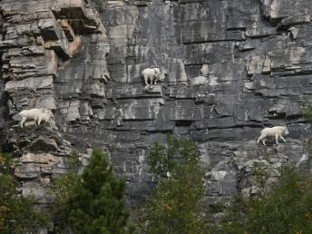 goat7