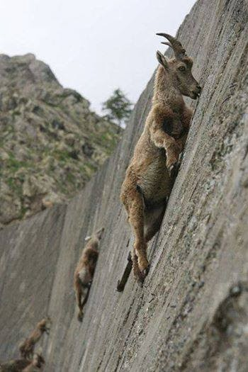 goats13