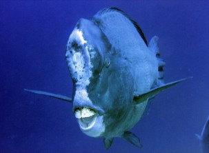 humphead-parrotfish1