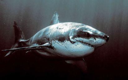Battle-worn shark.