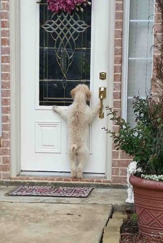 This guy ran away. His owner went looking for him and found this when he got home.