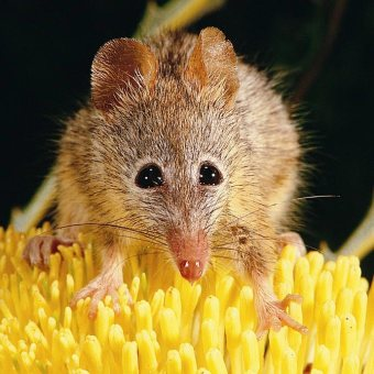 9526-honey-possum-sq