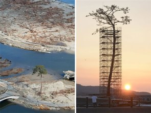 The only tree to survive the tsunami in Japan.