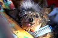 Annual Ugliest Dog Competition Held In Petaluma, California