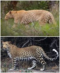 Comparison to regular leopard.