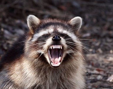 Raccoon with attitude