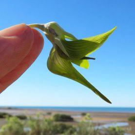 hummingbird-shaped-flower-green-birdflower-1562777107