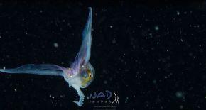 blanket-octopus-iridescent-membrane-3-5e566fa8c43c9__700