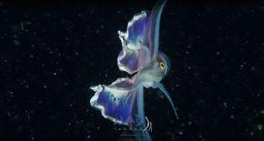 blanket-octopus-iridescent-membrane-5-5e566f9c12837__700