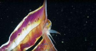 blanket-octopus-iridescent-membrane-9-5e566f82e6e64__700