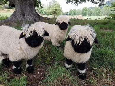 blacknose-sheep-1.jpg.optimal